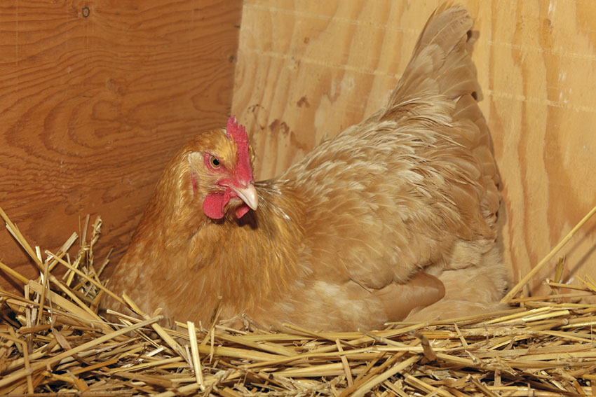 Buff Orpington broody hen