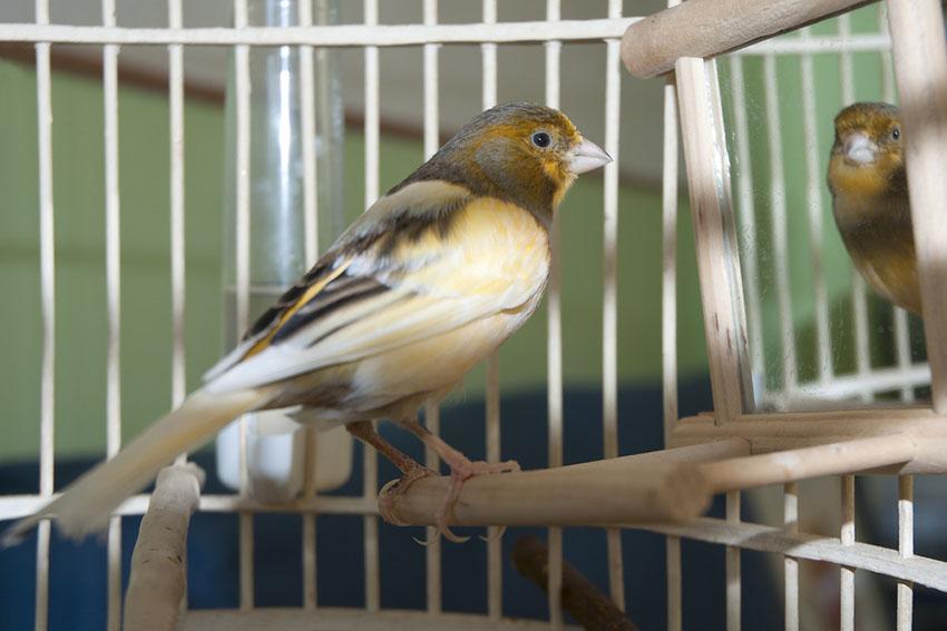 Canary mirror