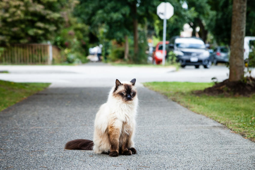 A Balinese cat with an incredible black and white long coat