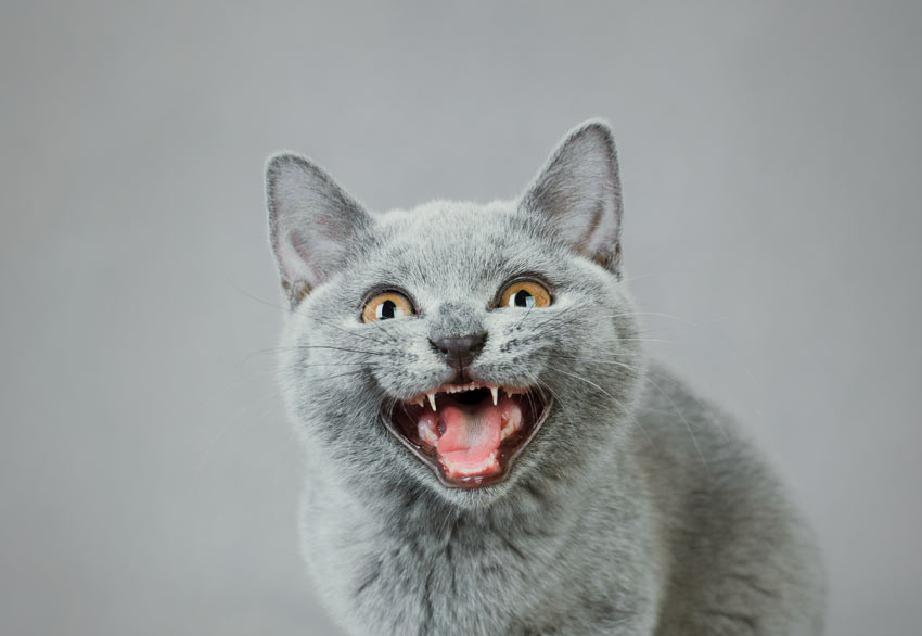 A British Shorthair Cat meowing