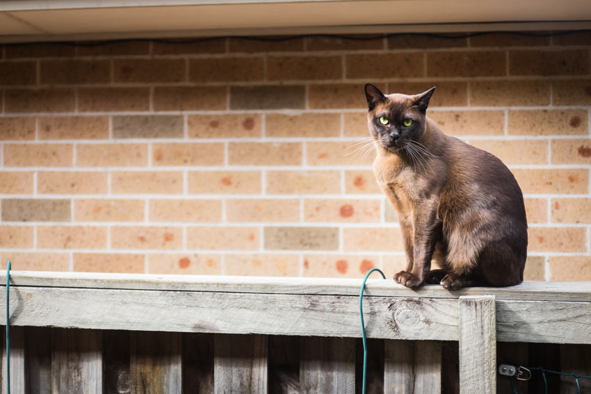 A Burmese Cat sitting on a fence