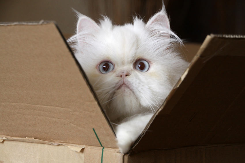A Cameo Cat playing in a cardboard box