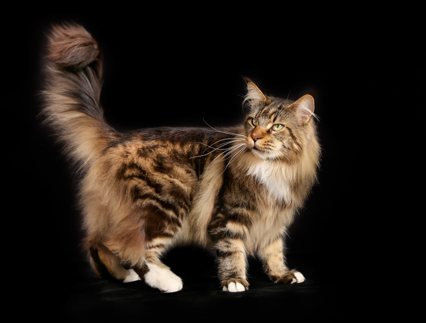 A Maine Coon Cat with a great big bushy tail