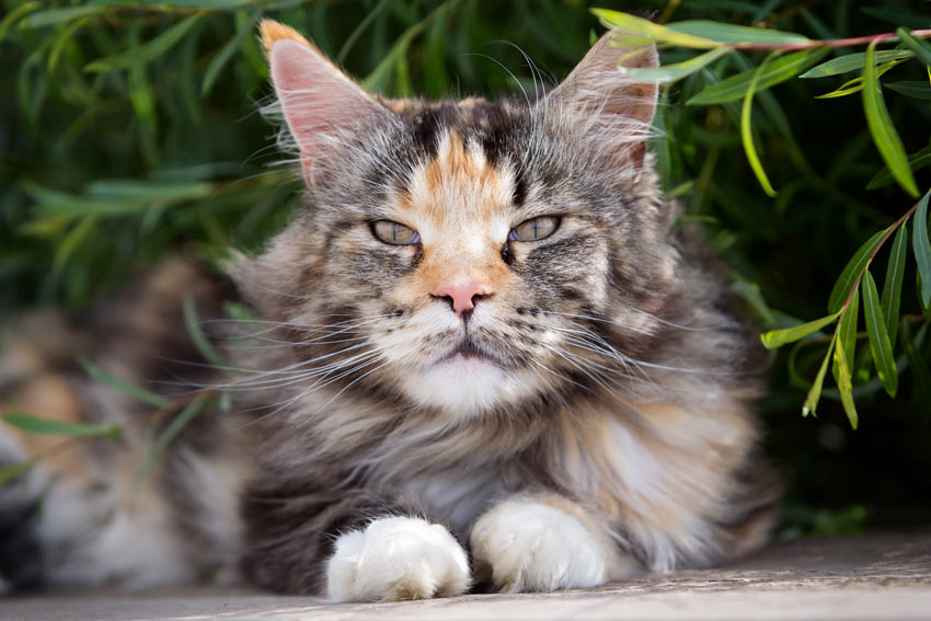 A Maine Coon cat with a beautiful thick long coat lying down