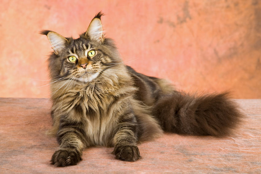 A Maine Coon cat with a wonderful long coat