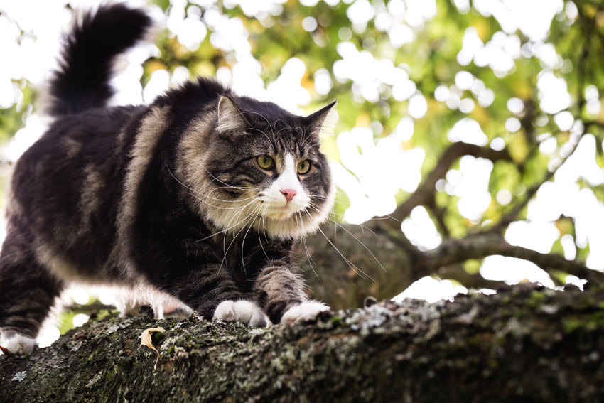 A Norwegian Forest Cat with a big bushy tail climbing a tree