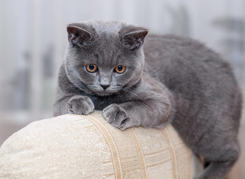 British Blue Cat Traits
