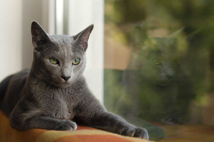 A Russian Blue cat with a wonderful blue coat lying down