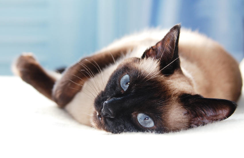 A Siamese Cat lying down having a deserved rest