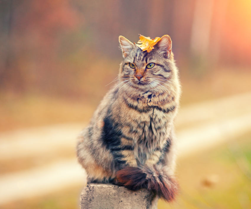 A Siberian Cat with a hypoallergenic coat balancing a leaf on its head