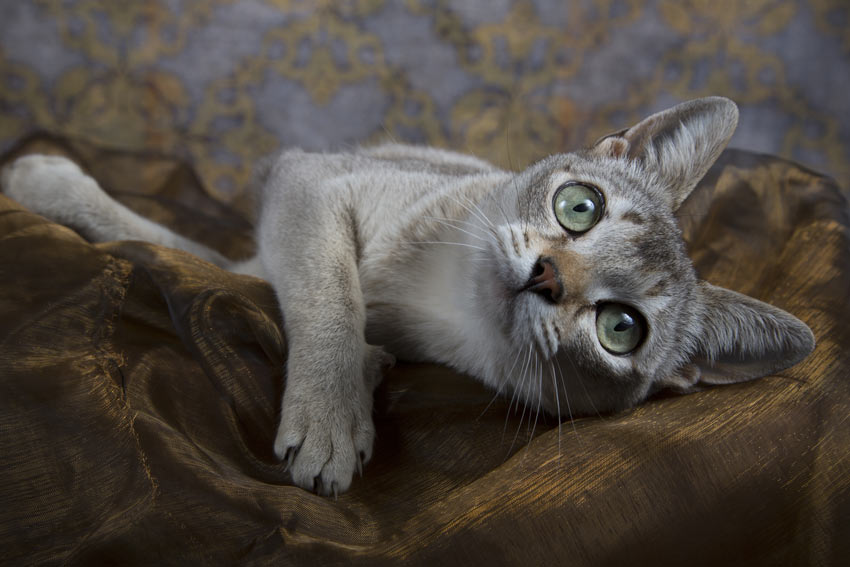 A Singapura Cat with beautiful green eyes lying down