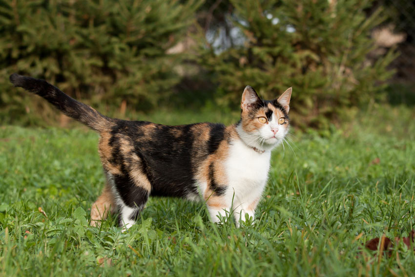 A beautiful Calico cat walking on the grass