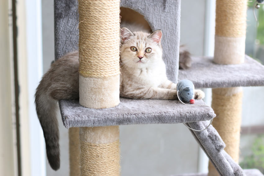 A beautiful Tiffanie playing on her scratching post