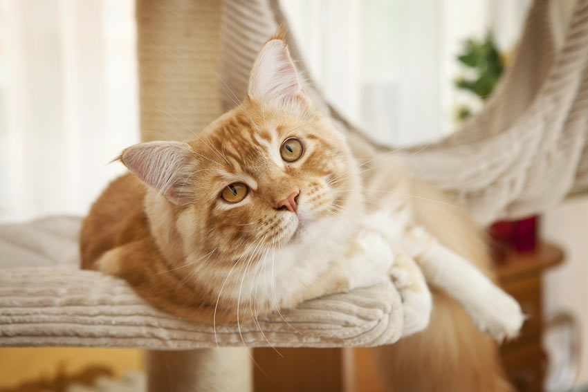 A beautiful ginger and white Maine Coon cat resting on its cat tree