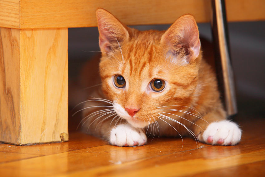 A beautiful ginger and white kitten hiding under the furniture