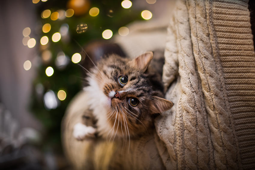 A beautiful tabby cat indoors during the christmas holidays