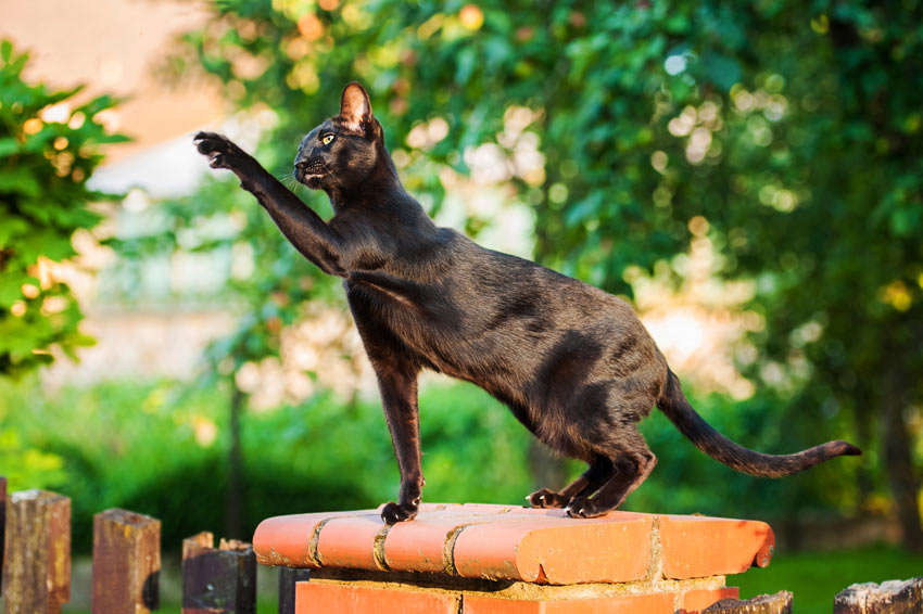 A black Oriental Shorthair Cat with a hypoallergenic coat