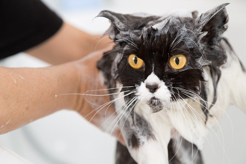 A black and white Persian cat having a warm bubble bath