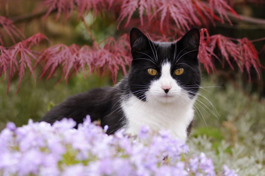 Cat-Cat_Guide-A_black_and_white_bicolour_moggy_cat Po co właściwie ten rodowód i jaki?