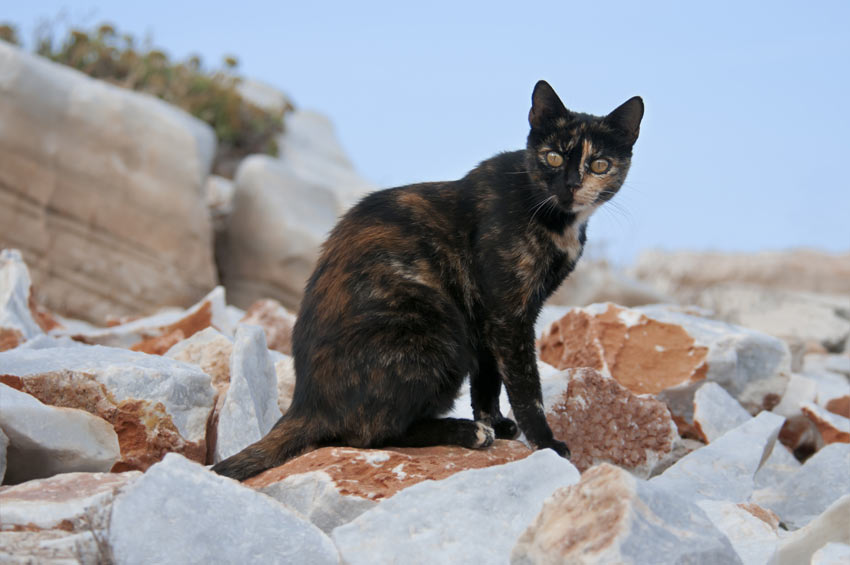 A cat with a Tortoiseshell coat