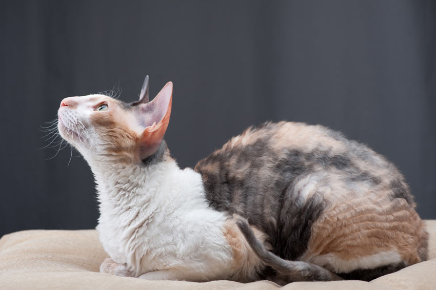 A clever and inquisitive Cornish Rex