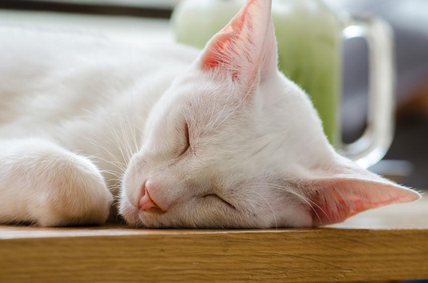 Et nærbillede af en Khao Manee kats vidunderlige lyserøde ører