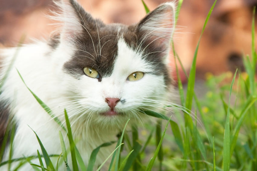 A close up of a black and white domestic cat eating grass