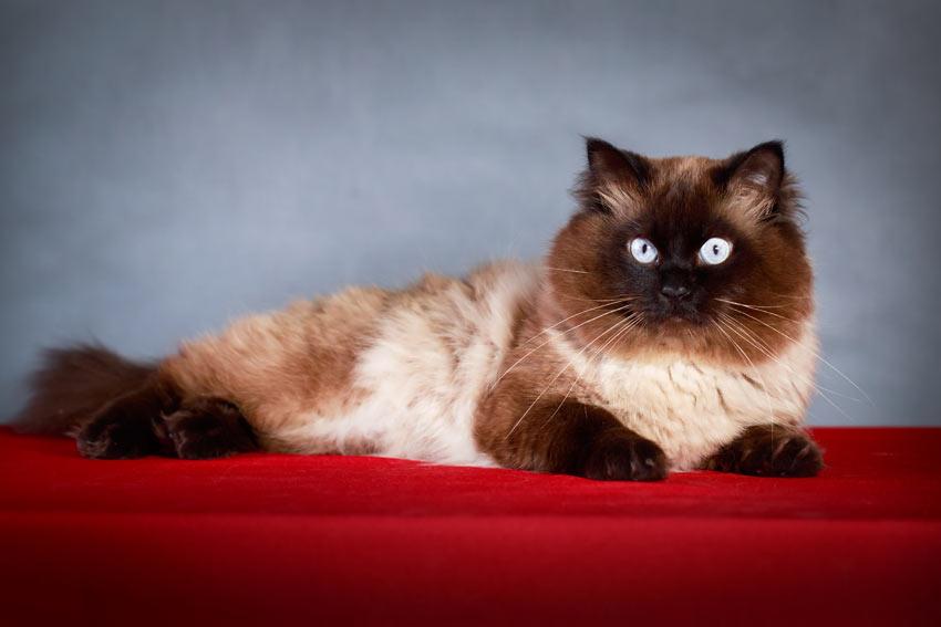 En colourpoint kat med et smukt mønster