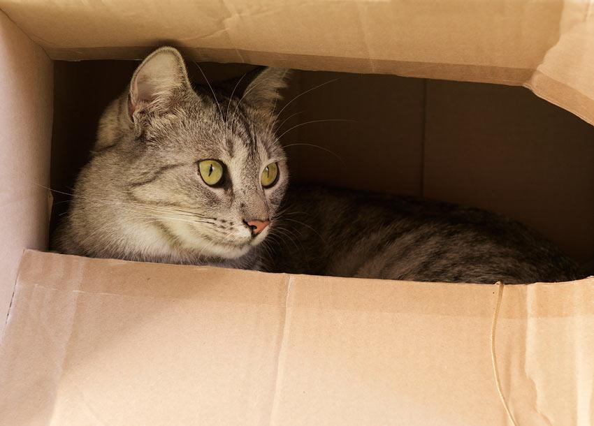 A curious tabby cat hiding inside a cardboard box