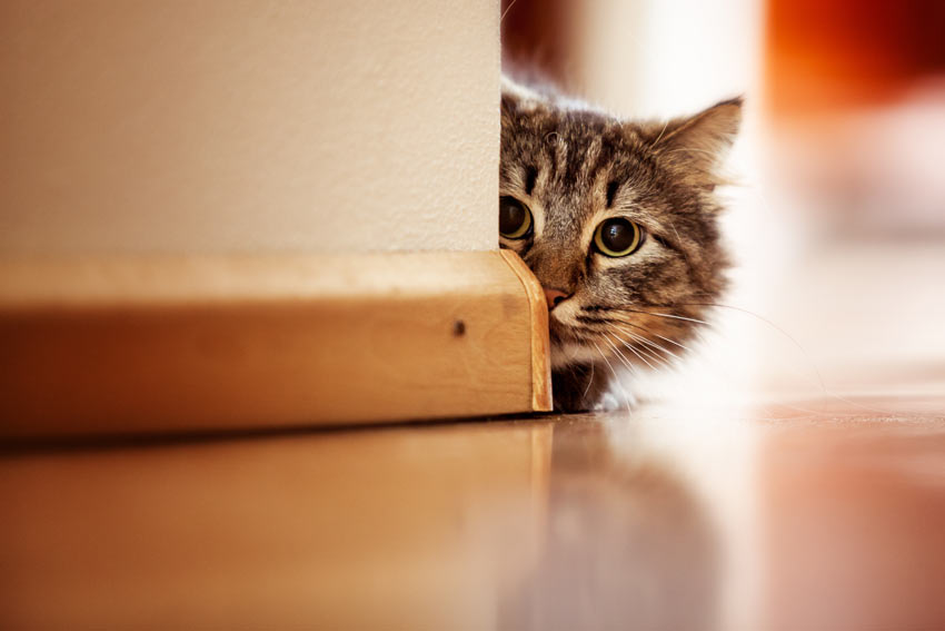 A cute tabby cat poking its head around the corner