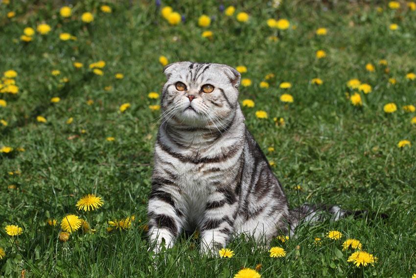 Eine markant gekennzeichnete British-Kurzhaar  Katze