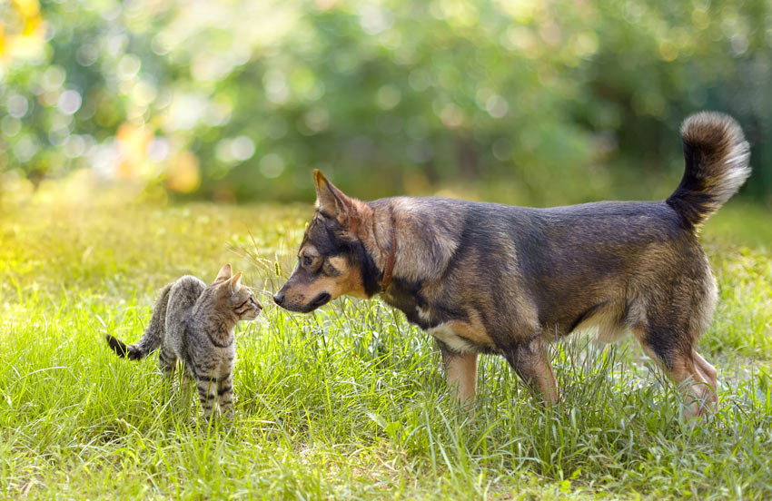 A dog and a cat meeting for the first time sniffing each other