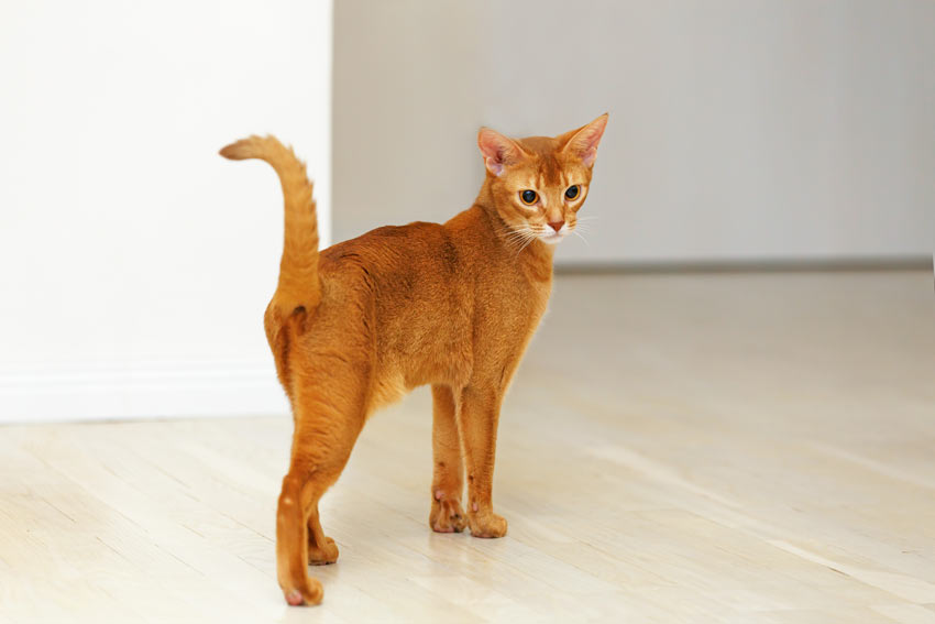 A friendly Abyssinian cat who loves to interact with people