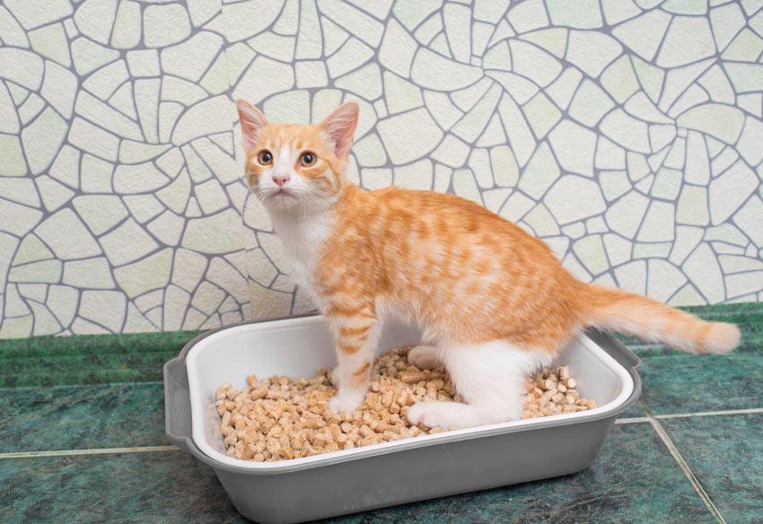 En rød og hvid killing lærer at anvende kattebakken