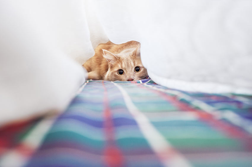 Eine rothaarige Katze spielt unter dem Bettlaken