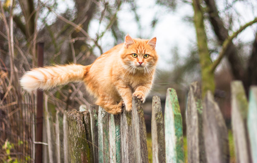 A ginger cat with perfect balance climbing along a fence