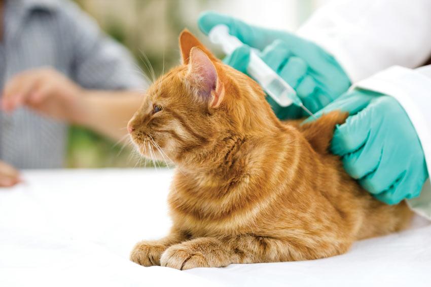 En rød tabby kat bliver vaccineret