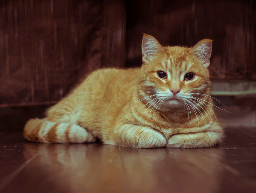 A ginger tabby cat resting on the floor with it paws tucking up