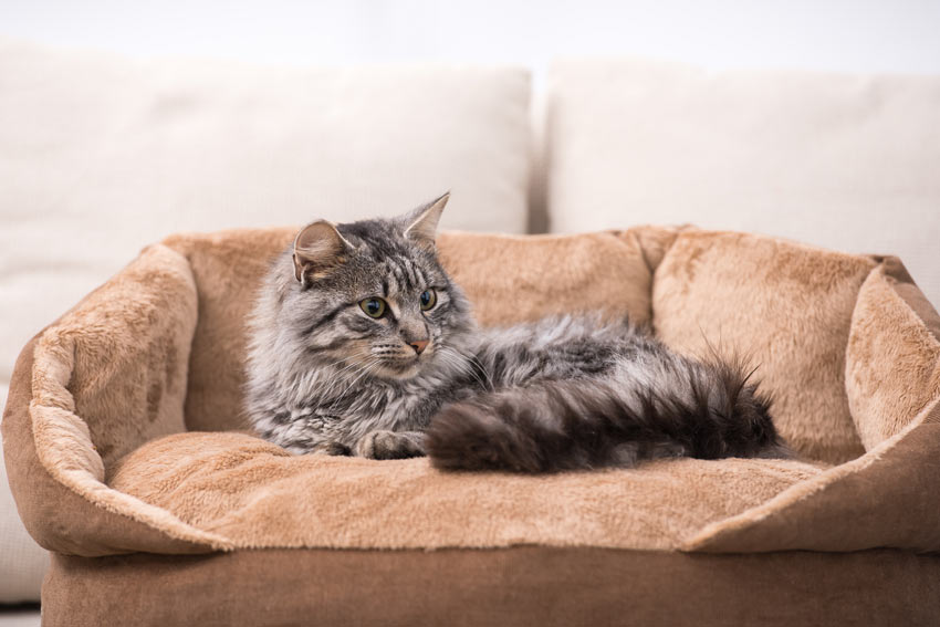A grey tabby cat with a beautiful thick long coat resting in its comfy bed
