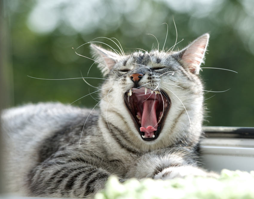 A grey tabby cat yawning showing off its clean white teeth