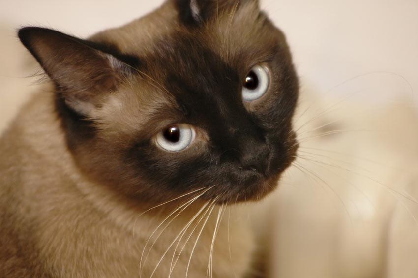 Eine schuldig drein schauende Siamkatze