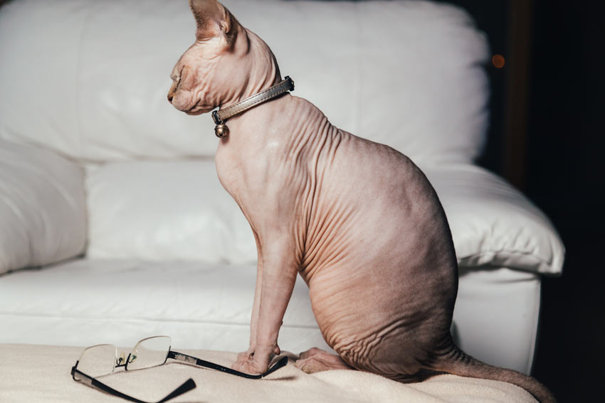 A hairless sphynx cat