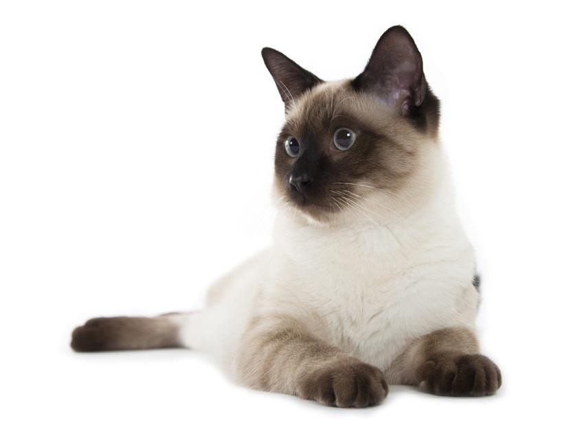 Eine hypoallergene Siamkatze, die ihr Fell nicht verliert