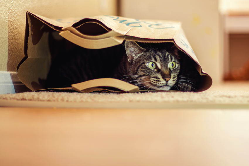 A inquisitive little tabby cat hiding inside a paper bag