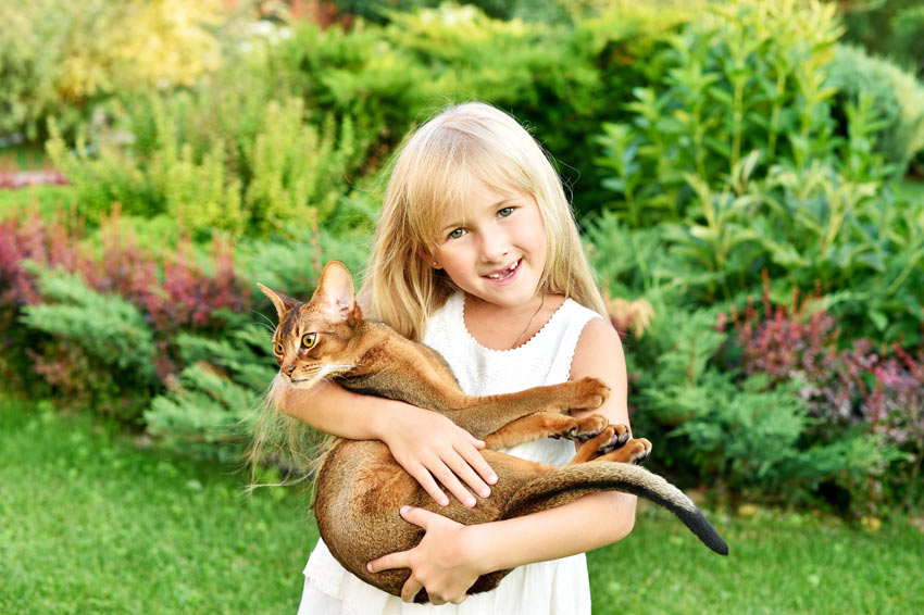 A little girl holding her beautiful Abyssinian cat