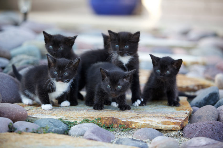 A littler of black and white kittens outside on some rocks