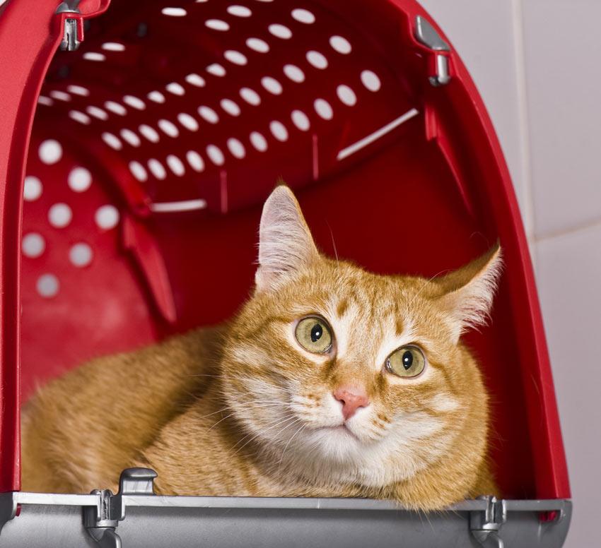 Eine hübsche rothaarige Katze überlegt sich, ob sie ihre Box verlassen soll