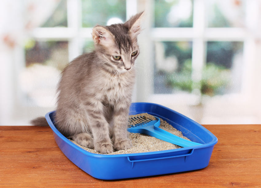 En sød lille grå killing anvender en blå plastik kattebakke indendørs