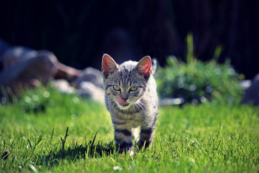 A maturing kitten walking on the grass in the garden