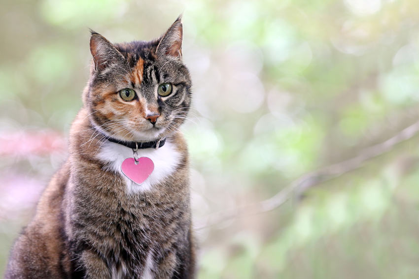 A portrait of an adult tabby cat wearing a collar and tag